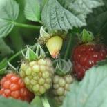 raspberry rambles