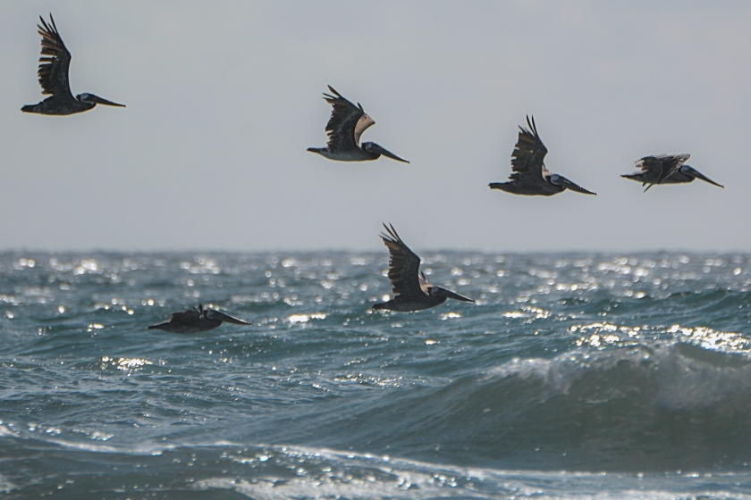 half-and-half_pelican