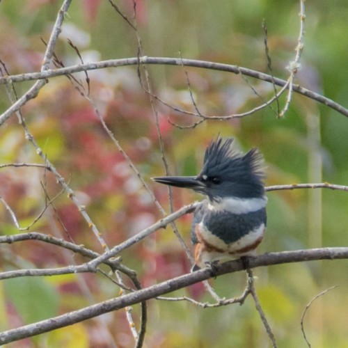 10-23-15_b_belted_kingfisher_a