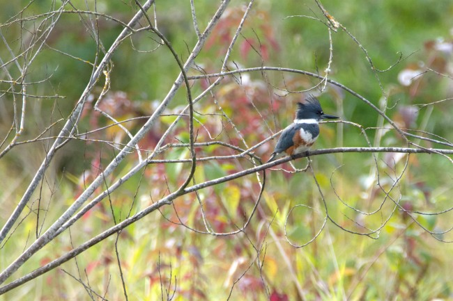 10-23-15_b_belted_kingfisher_k