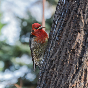 01-08-15_red-breasted_sapsucker_b