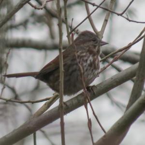 01-12-15_b_song_sparrow_a