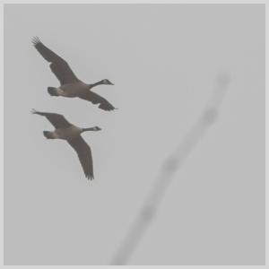 01-16-15_b_canada_geese_b