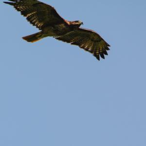 07-09-15_b_red-tailed_hawk_f