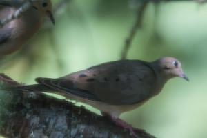 07-28-15_b_mourning_dove_b