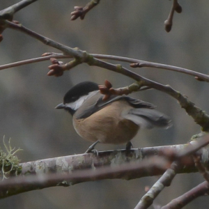 20140101-01-01-14_b_black-capped_chickadee_d