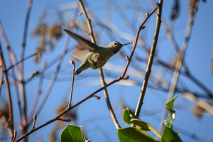 20140123-01-24-14_b_annas_hummingbird_c
