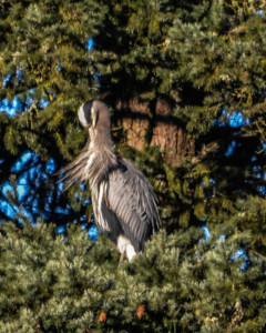 Great Blue Heron_a