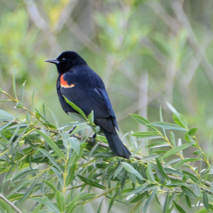 Red-winged Blackbird_a
