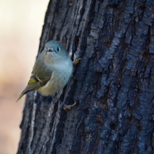 Ruby Crowned Kinglet_f