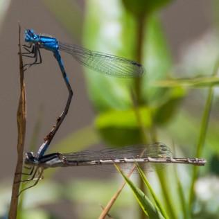 Water mites on Tule Bluet