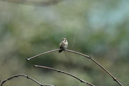 01-18-20_annas hummingbird_3