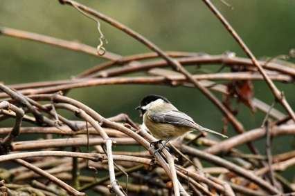 01-18-20_black-capped chickadee_1