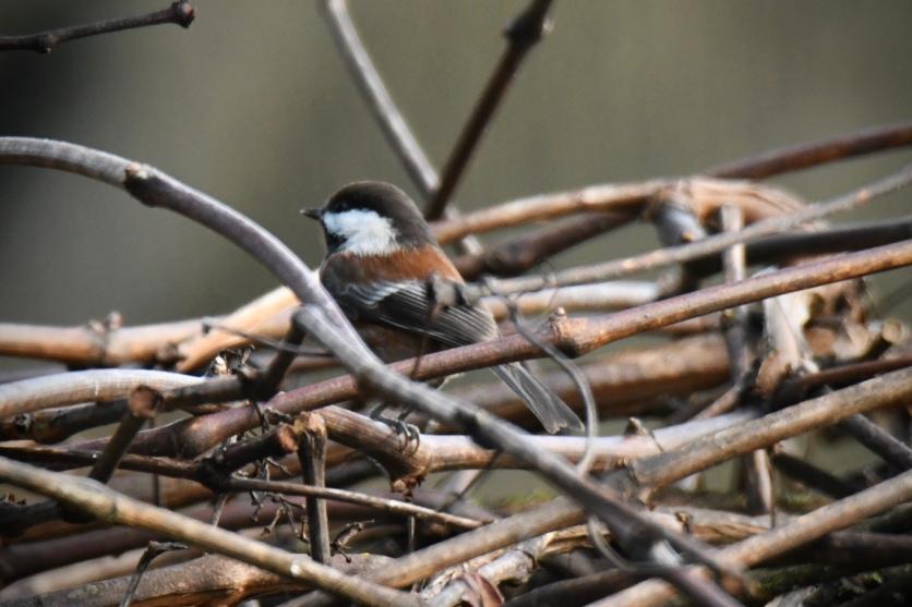 01-18-20_chestnut-backed chickadee