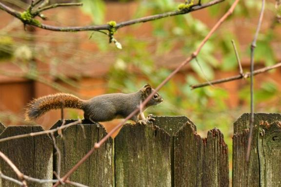 01-18-20_douglas squirrel