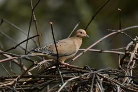 01-18-20_mourning dove_1