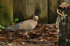 01-18-20_mourning dove_2