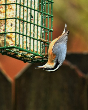 01-18-20_red-breasted nuthatch_1