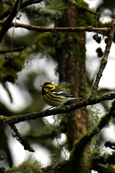 01-18-20_townsends warbler_2
