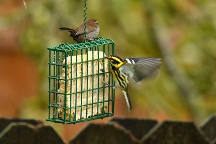 01-18-20_townsends warbler_5 bewicks wren