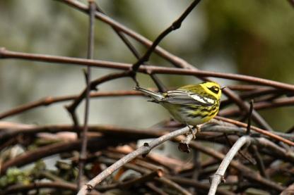 01-18-20_townsends warbler_6